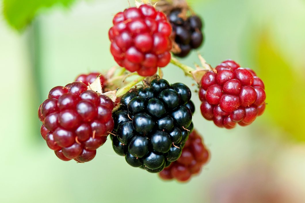 Blackberries by Andre Rau