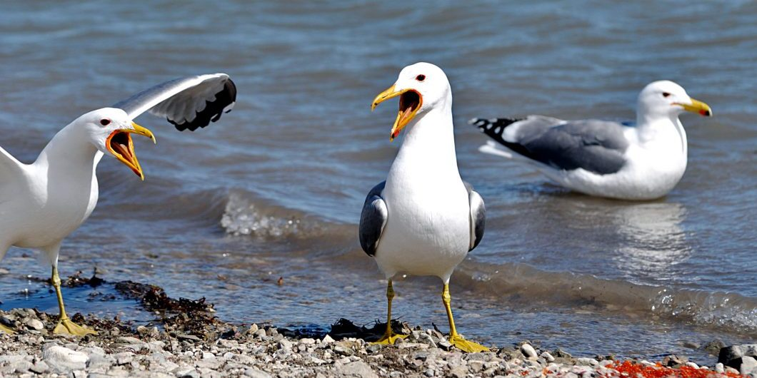 Some seagulls arguing over their dinner of fish eggs.