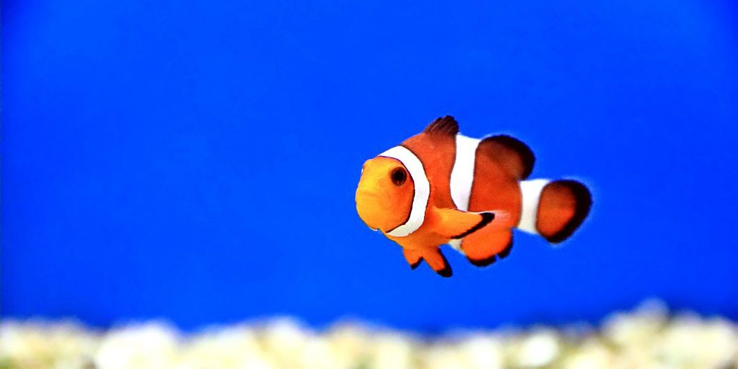 Image of clown fish in aquarium water