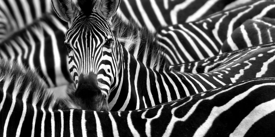 close-up-from-a-zebra-surrounded-with-black-and-white-stripes-in-his-herd-by-chantal-de-ruijne-via-shutterstock