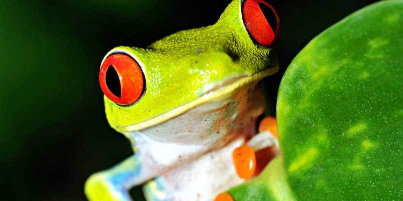 red-eyed-green-tree-or-gaudy-leaf-frog-curiously-looking-over-by-worldswildlifewonders-via-shutterstock