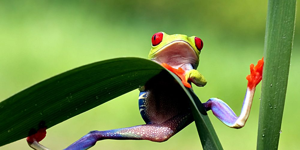 red-eyed-tree-frog-looking-very-surprised-by-roger-meerts-via-shutterstock