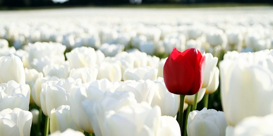 red-tulip-on-white-background-by-emesilva-via-istockphoto