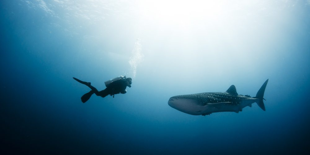 scuba-diver-approaches-a-whale-shark-by-shane-gross-via-shutterstock